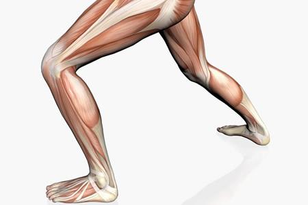 腿部肌群1